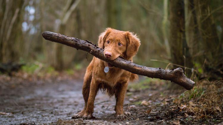 Picture of a dog carrying a large stick in the woods.