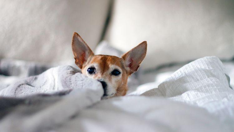 Picture of a dog hiding in the bed sheets.