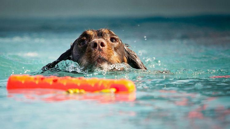 Featured image for do all dogs know how to swim article.