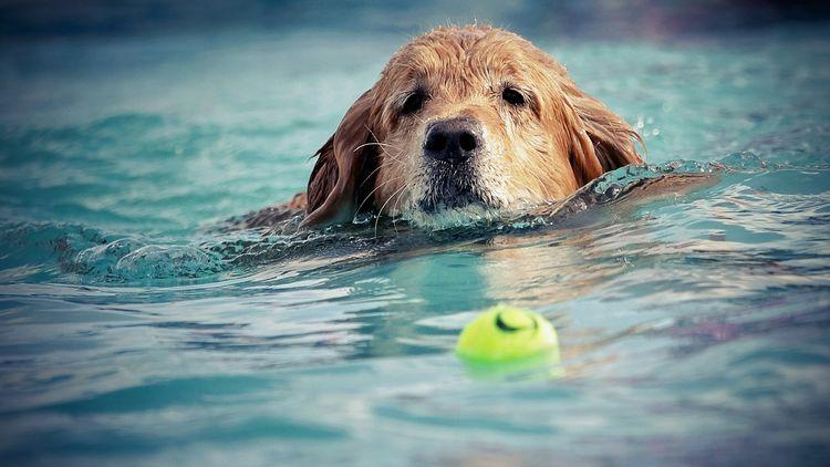Picture of a dog swimming in a pool to catch tennis ball.