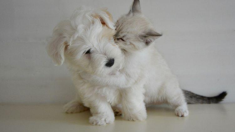 Picture of a kitten cuddling a puppy.