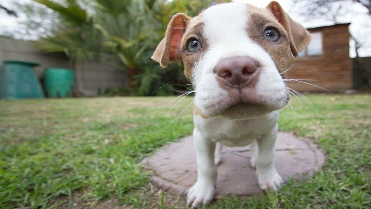 Picture of a pitbull puppy.