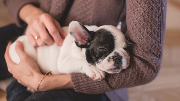 Picture of a bulldog sleeping in a human's arms.