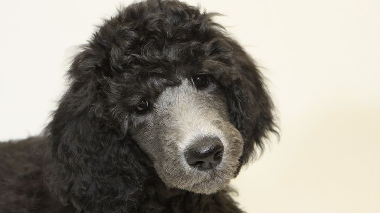 Picture of a puppy poodle.