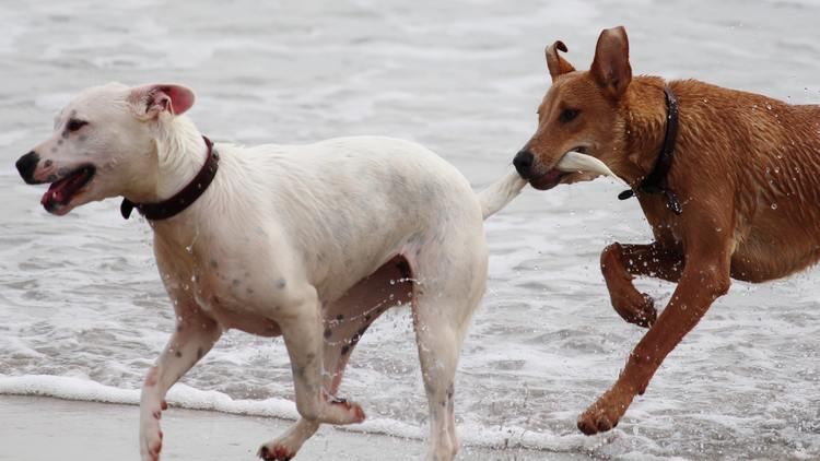 Picture of dogs playing on a beach.