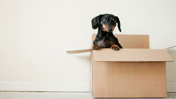 Picture of a dachshund puppy in a box.
