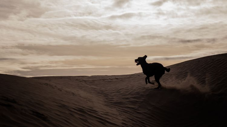 Picture of a dog running silhouette.
