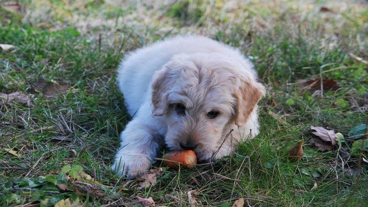 Picture of a dog with a carrot.