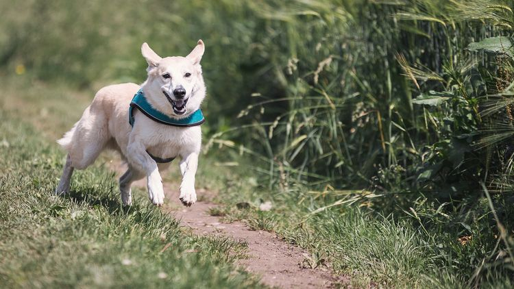 Featured image for the best dog harness for running article.