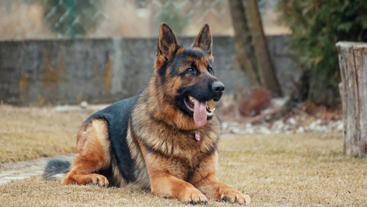 Picture of a German Shepherd.