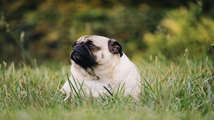 Picture of an overweight pug in the field.