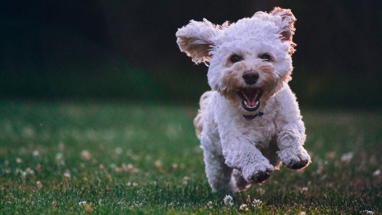 Picture of a running dog.