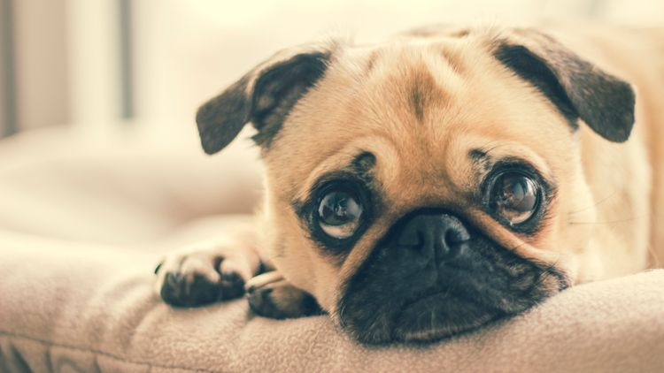 Picture of a pug.