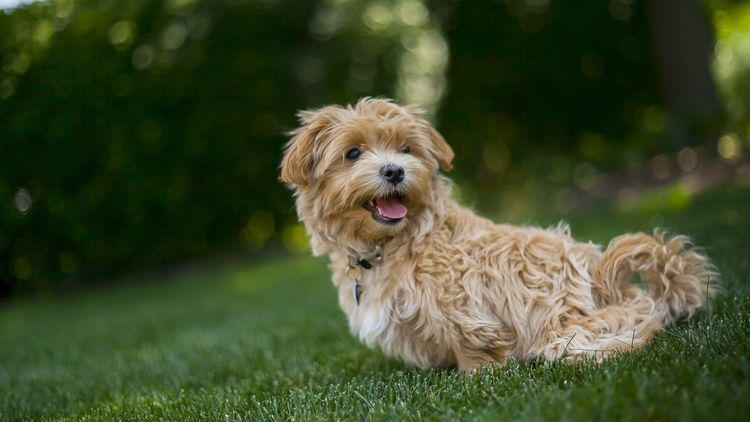 Picture of a dog on the lawn.