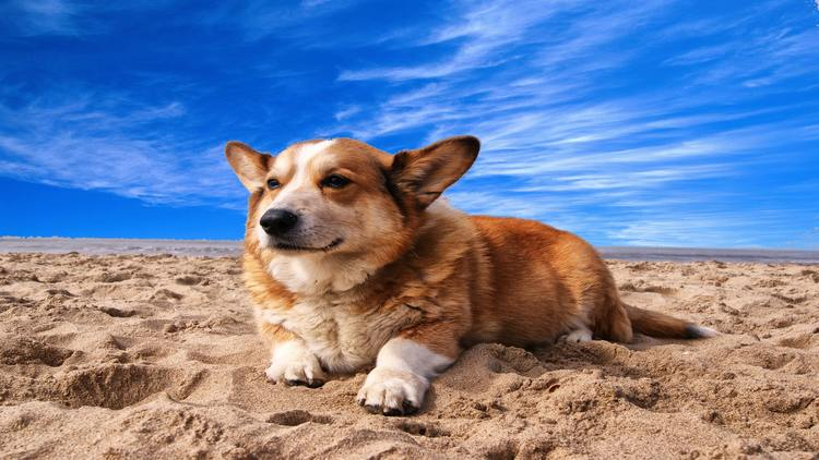 Picture of a welsh corgi on the beach.