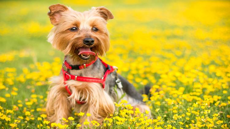Picture of a yorkshire terrier dog in a field.
