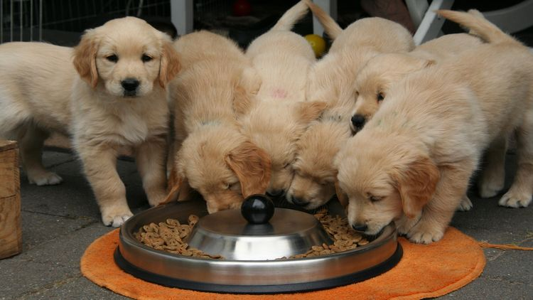 Picture of golden retriever puppies.