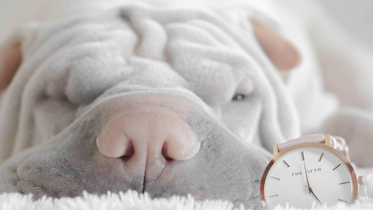 Picture of a shar pei dog laying next to a watch.